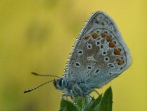 Zie de vlinder