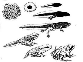 kikkercyclus