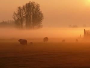 schapen rood ochtend mist marijke